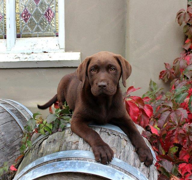 IMG_2193 Labrador Puppy